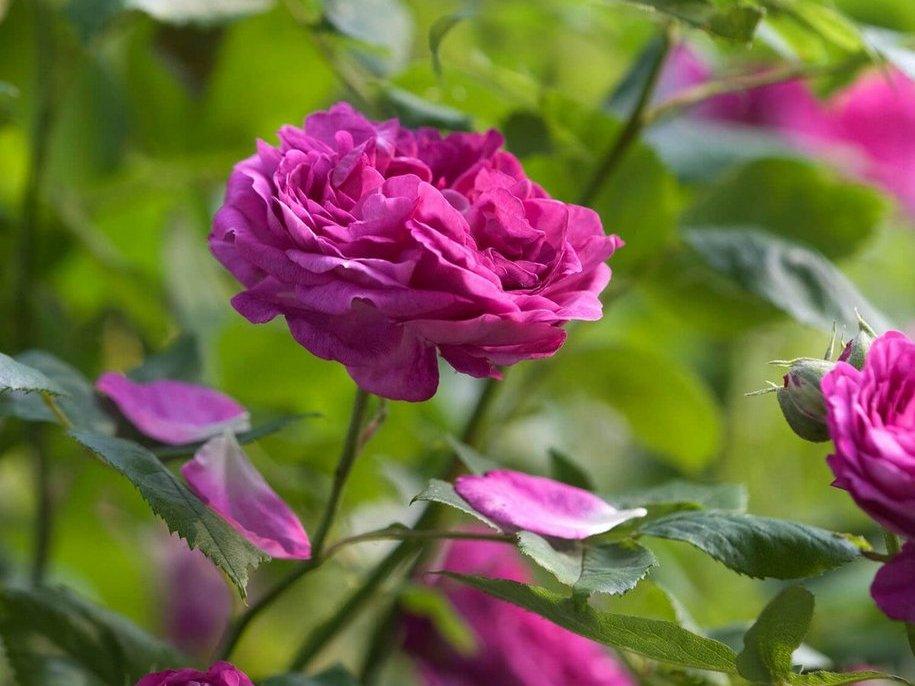 Троянда «Рейн де Вайолетс» (Reine des Violettes), Millet-Malet, Франція, 1860, з виставкового саду Девід Остін Роуз