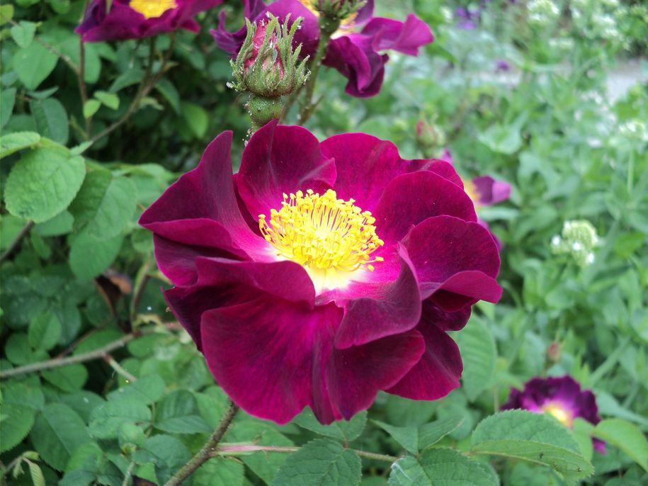Троянда «Ла Белль Султан» (La Belle Sultane, Aigle rouge, Mahaeca, Maheka, Violacea), невідомої інтродукції, Нідерланди, 1795, з виставкового саду Девід Остін Роуз