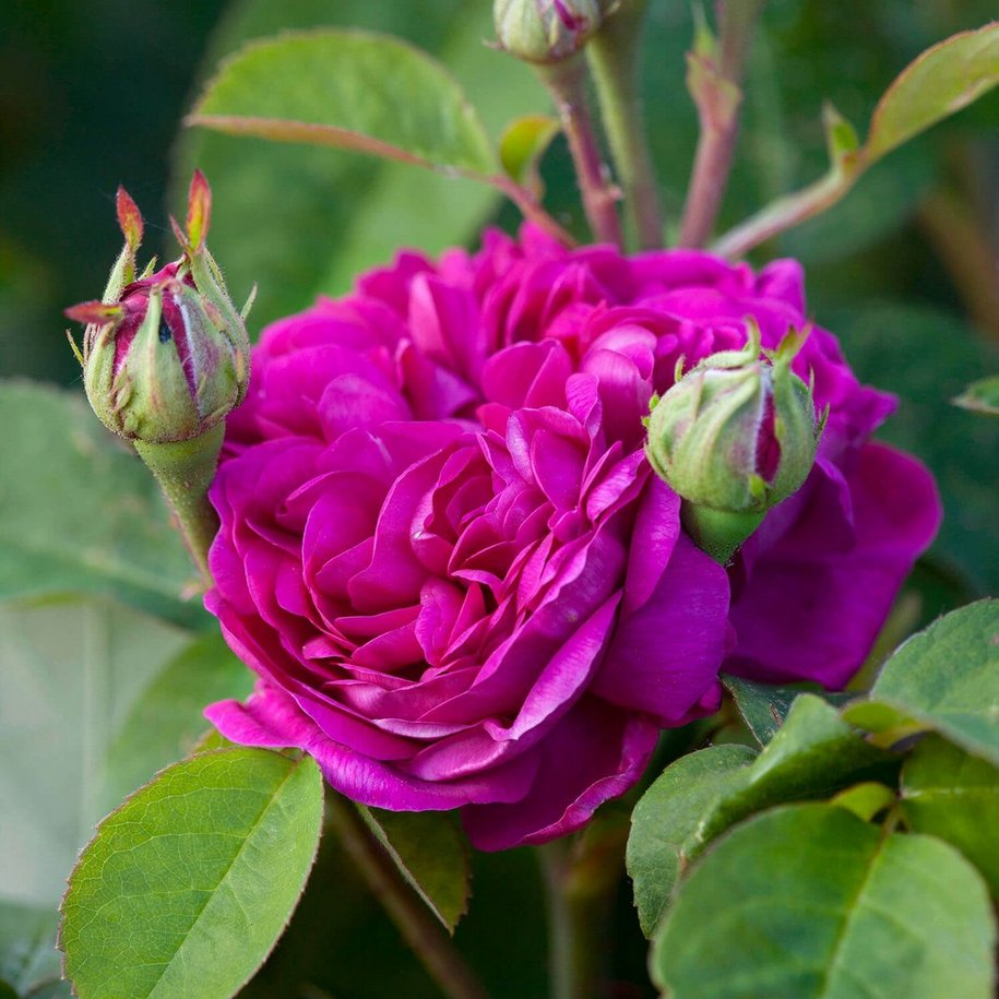 Троянда «Роз де Решт» (Rose de Resht), інтродукція невідома, до 1900 р.) – відностиься до групи дамаських, портландських, шрабів