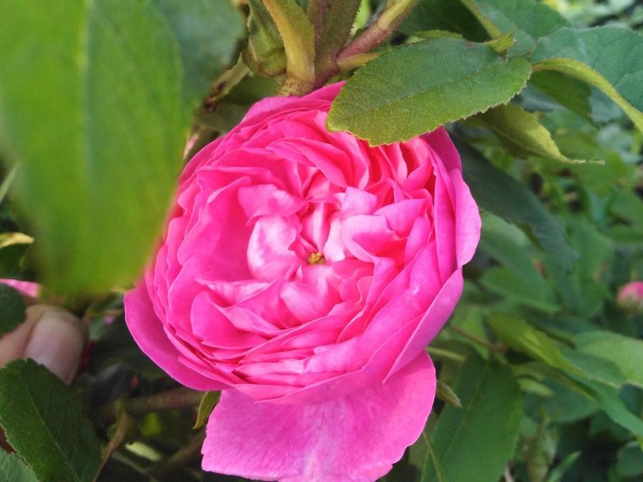 «Ця троянда надзвичайно яскрава, але фотоапарат, на жаль, не передає колір», — Людмила Мельничук, власниця розплідника «Мельсансад», через руки якої пройшли легіони новонароджених троянд