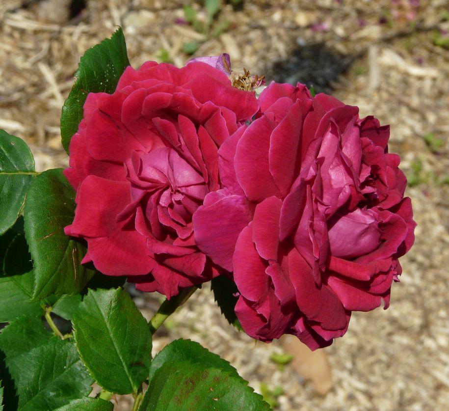 Стародавня троянда «Альфред Коломб» (Alfred Colomb), François Lacharme, Франція, 1865