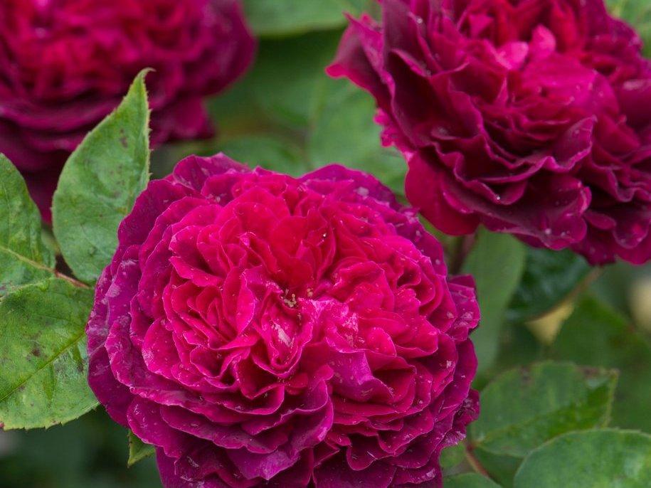 Троянда «Артур де Сансал» (Arthur de Santal), Scipion Cochet, Франція, 1855, відноситься до групи дамаських троянд, ремонтантних гібридів, портландських. З виставкового саду Девід Остін Роуз