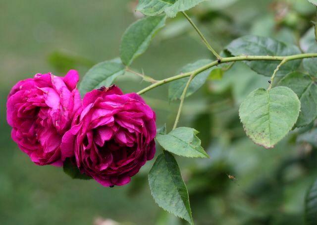 Троянда «Леопольд Ріттер» (Leopold Ritter), Rudolf Geschwind, Австро-Угорщина, 1900 г