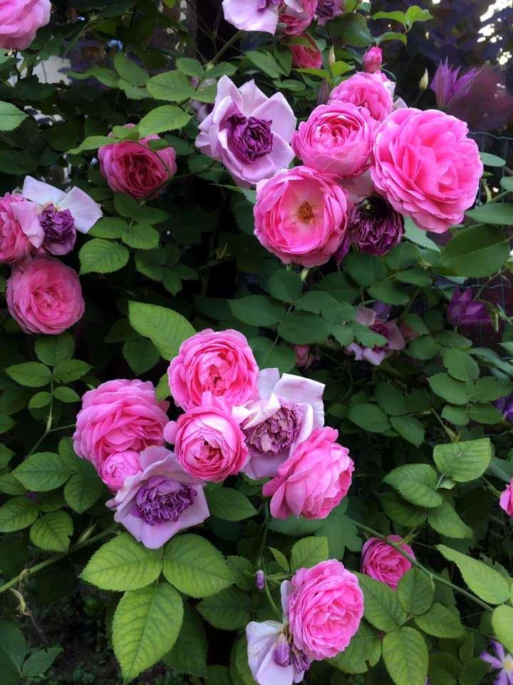 Красиво відцвітає розкішна рожева Луїза Одьє, залишаючи фіолетовий на прощання. З групи бурбонських троянд, Margottin, 1851, з саду Ольги Флорової