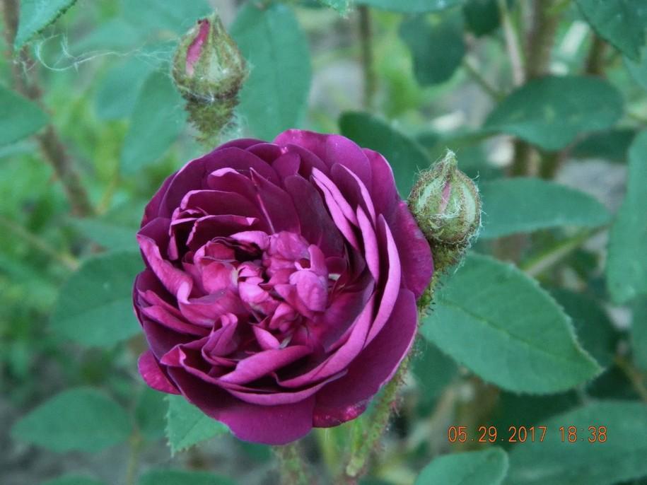 """Троянда """"Нуїц де Ян"""" (Nuits de Young) з саду Галини Микитинець"""
