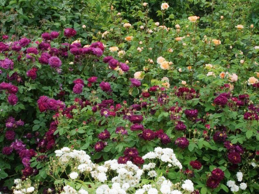"""Троянда """"Тускані Суперб"""", Thomas Rivers & Son Ltd., Великобританія, 1837), фото з виставкового саду Девіда Остіна"""