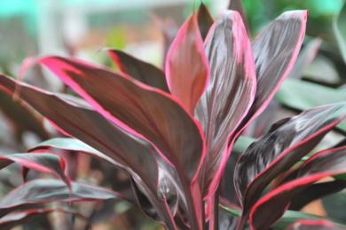 Кордиліна чагарникова (Cordyline fruticosa), сорт «Ред Едж» (Red Edge)