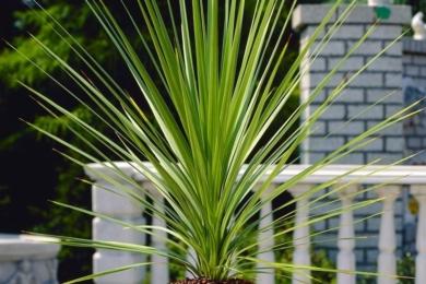 Кордиліна південна (Cordyline australis)