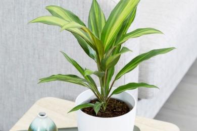 Кордиліна чагарникова (Cordyline fruticosa), сорт «Ківі» (Kiwi)