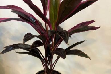 Кордиліна червона (Cordyline rubra)