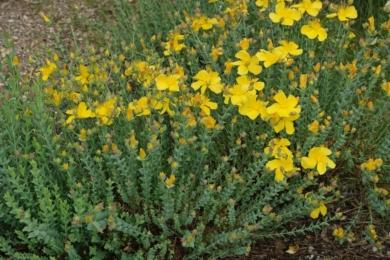 Звіробій багатолистий (Hypericum polyphyllum)