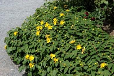 Звіробій чашечковий (Hypericum calycinum)