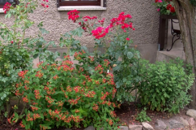 Звіробій красильний (Hypericum androsaemum)