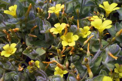 Звіробій болотний (Hypericum elodes)