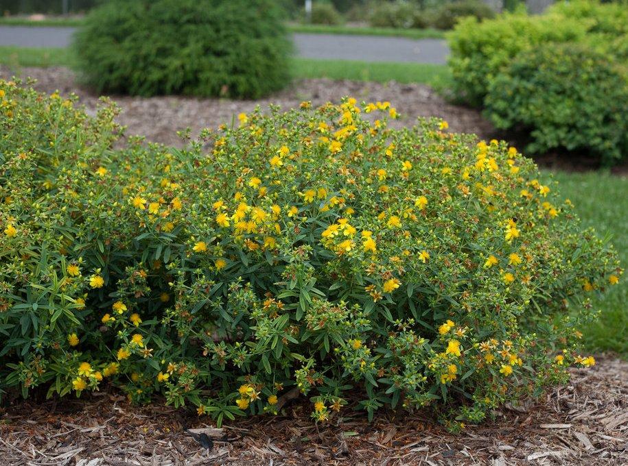 Звіробій на квітниках може обійтися практично без догляду