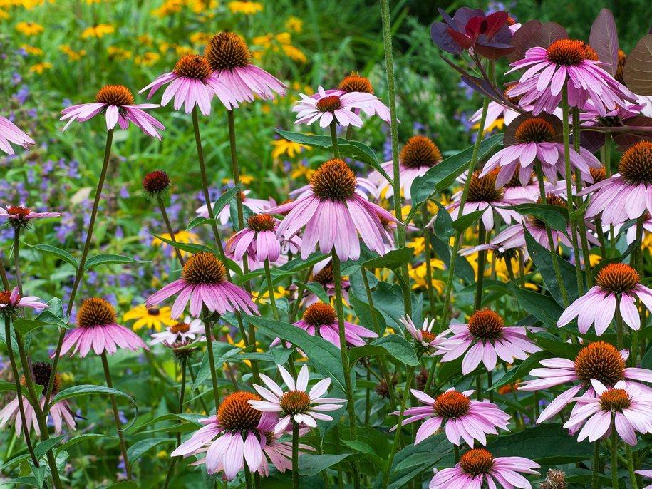 Ехінацея зацвітає в липні, в середньому період цвітіння продовжується близько 2 місяців