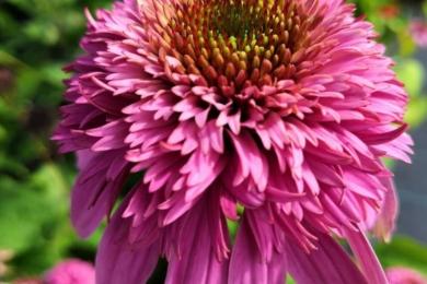 Ехінацея пурпурова (Echinacea purpurea) «Разматаз»(Razzmatazz)