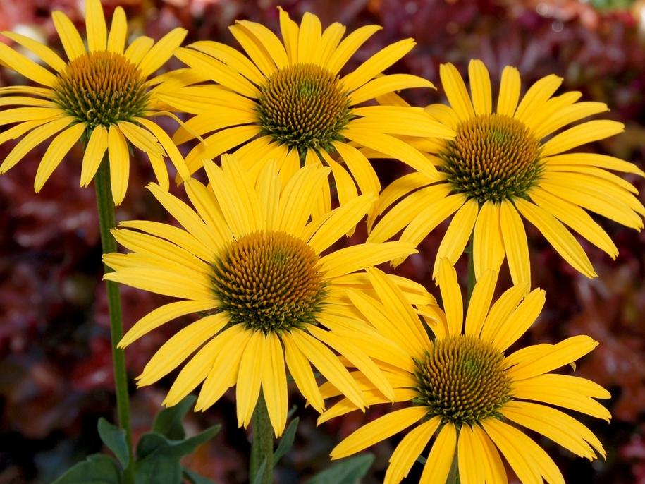 Ехінацея — особливості вирощування і найкрасивіші сорти