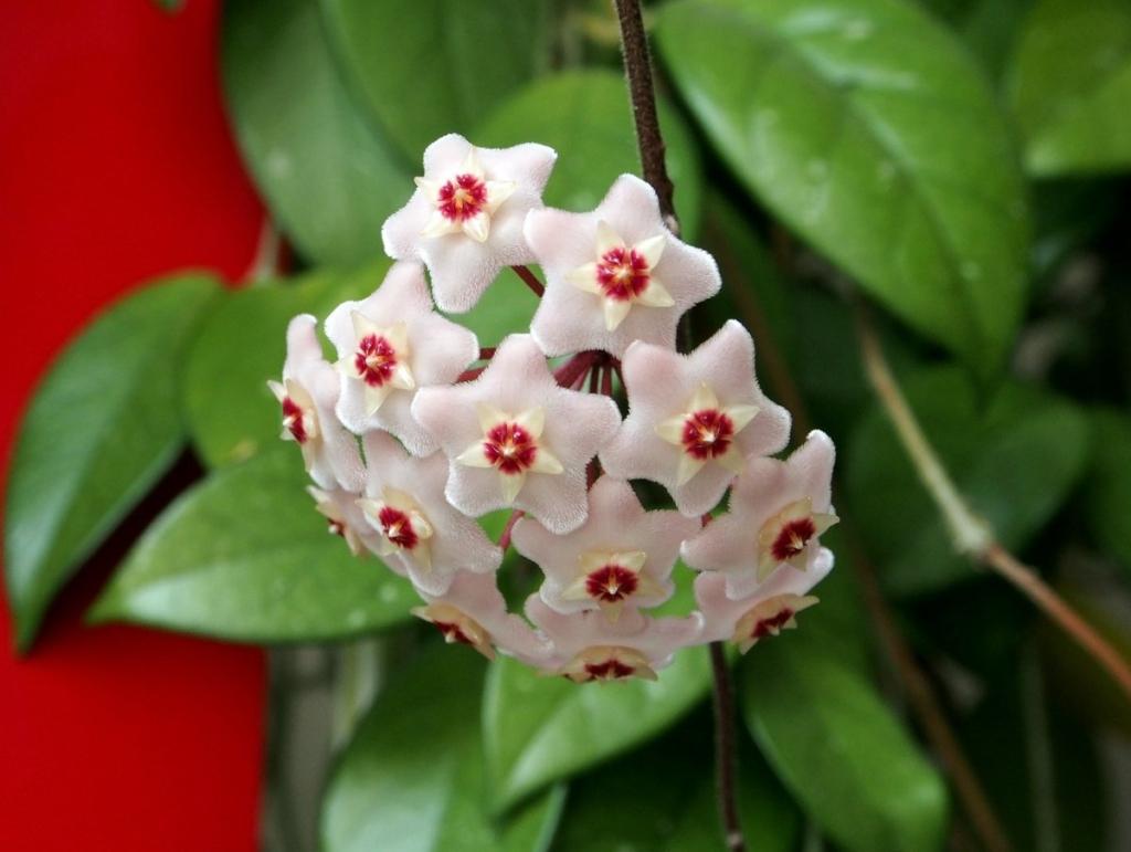 Хойя — вишукана квітуча ліана для вашої оселі