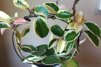 Хойя варієгата (variegata)