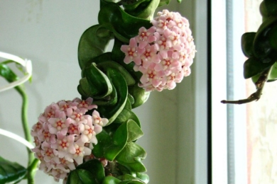 Хойя карноза, або мясиста (Hoya carnosa)