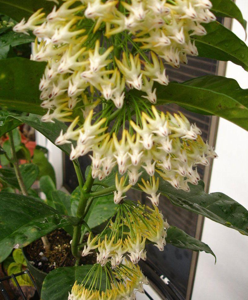 Хойя багатоквіткова (Hoya multiflora)