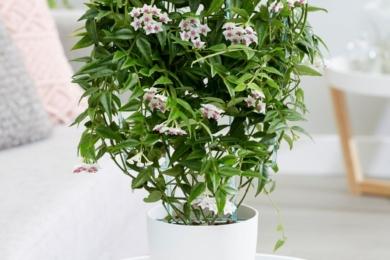 Хойя красива (Hoya bella)