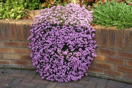 Мильнянка, або Сапонарія — ідеальна грунтопокривна рослина для бідних грунтів