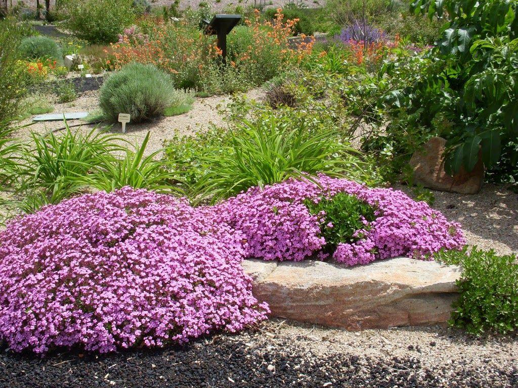 Сапонарії помилково вважають культурою лише для альпійських гірок: окрасою саду вони з легкістю стануть і в інших композициях