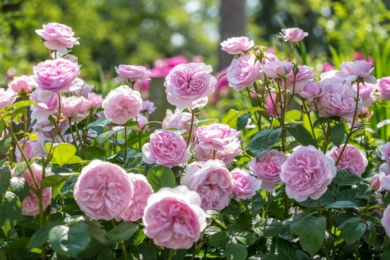 Троянда «Олівія Роуз» (Olivia Rose Austin)