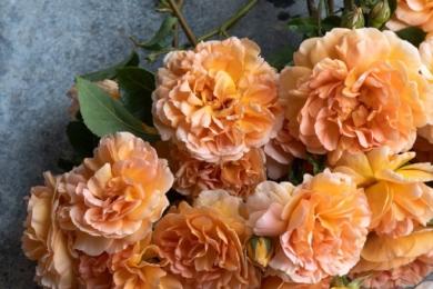 Троянда Judi Dench – одна з улюблених троянд у виставковому саду