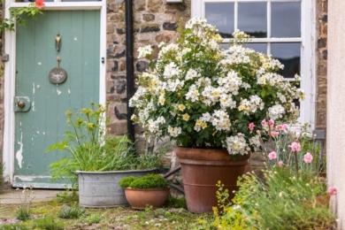 Троянда Kew Gardens
