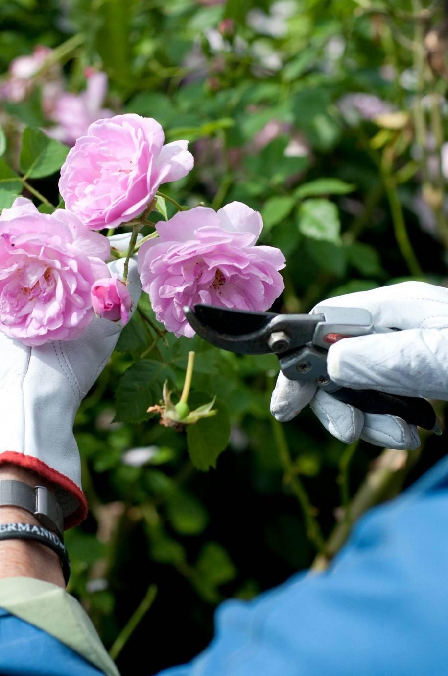 Літнє обрізування троянд – для охайного вигляду квітника та направлення сили троянди на наступне цвітіння