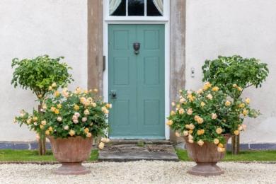 Одна з найздоровіших англійських троянд - Roald Dahl