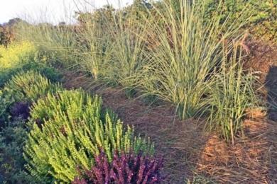 Рядочок пампасної трави вийшов з поділеного цієї весни одного кущика. Наростає дуже швидко, зимує поки добре