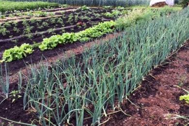 В рядочках цибулі, салату, інших рослин мульчі нема – мульчуються тільки стежки