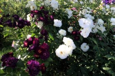 Троянди «Міджнайт Блю» і «Шнеєвітчен» – яке поєднання!