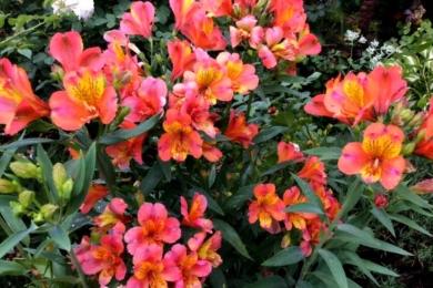 «Альстремерія – велика трудівниця. Майже три місяці безперервного цвітіння. Вона у мене росте у відкитому грунті, зимує теж. Тільки під надійним укриттям, вона боїться вимокання: зрізається, вкривається сосновими голками і ретельно прикривається плівкою.»