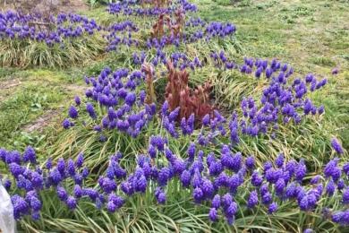 До речі, про цибулькові: ріки мускарі розтеклися з одного кущика по всьому весняному саду. «Так у нас в окрузі ніхто не робить, - пані Таня, - зате, коли бачать, то одразу «ох!»
