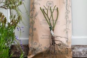 Як, коли та де посадити англійські троянди — рекомендації від Девід Остін Роузес