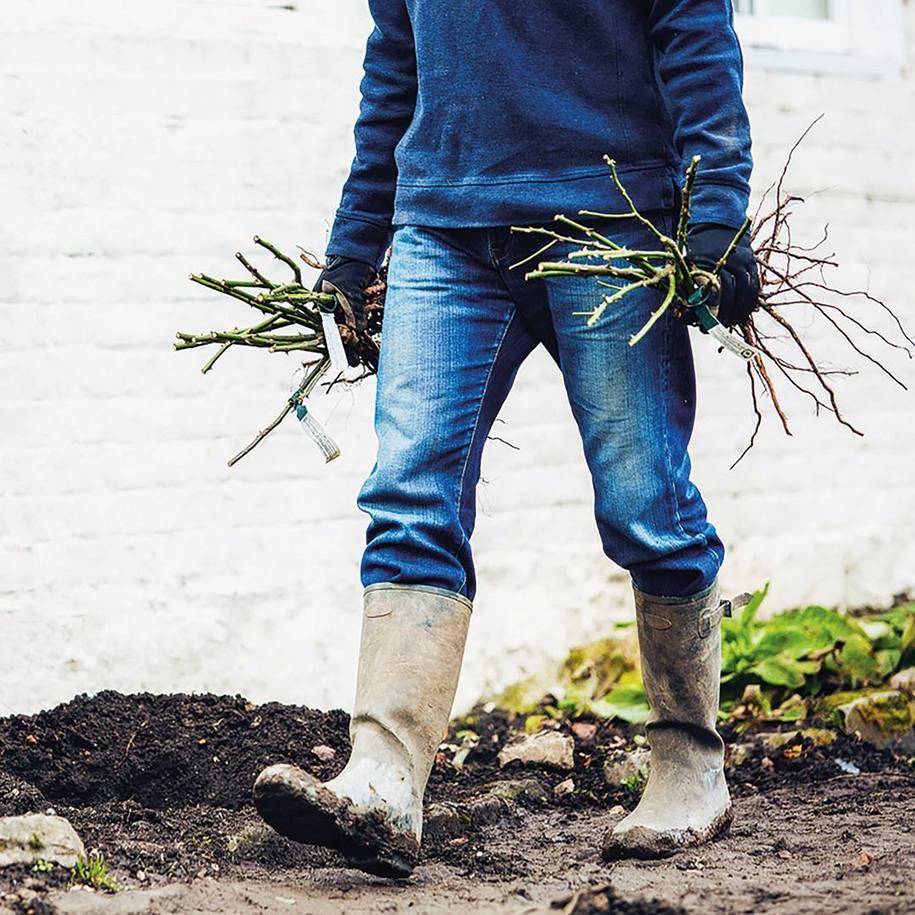 Осінь — ідеальний час для посадки троянд з голими коренями