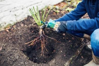 Вийміть троянду з відра і, утримуючи троянду над посадковою ямою, посипте коріння грибами мікоризи