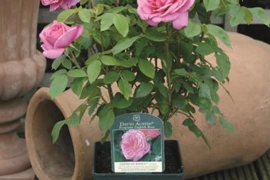 Троянди також можна дуже успішно вирощувати в горщиковій культурі