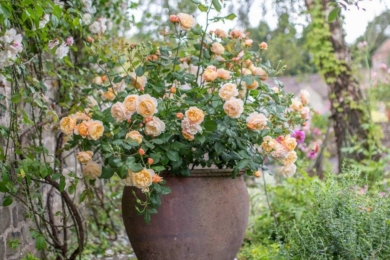 Посадка троянд у горщики може створити справжнє видовище у вашому саду