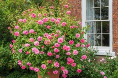 «Здивуйте себе, посадивши троянду «Гайд-Холл» у великий горщик. Це дуже великий чагарник; облитий яскраво-рожевим цвітінням протягом усього літа».