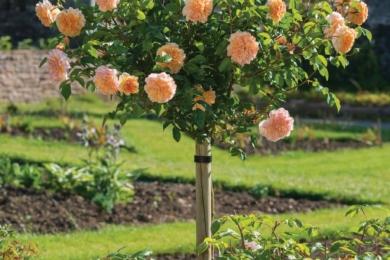 Остінка Port Sunlight - чарівна троянда, яка випромінює насичений чайний аромат. Це енергійна англійська штамбова троянда, яка підходить для всіх типів грунтів, але любить насолоджуватися великою кількістю сонячного світла