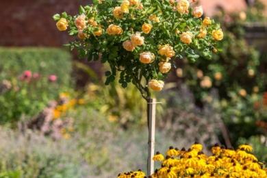 У 2016 році Девід Остін мав задоволення випустити дивовижну нову троянду до столітньої річниці від дня народження Роальда Даля. Троянда Roald Dahl в штамбовій культурі — дивовижна