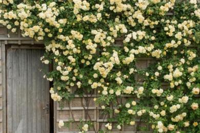 Плетиста троянда-рамблер «Малверн Хілс» (Malvern Hills) на землі займає зовсім невеликий простір, зате який вид створює!