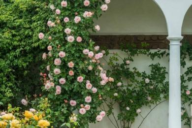 Троянда A Shropshire Lad (Шропширський хлопчина) — чудовий альпініст, який відрізняється як красою, так і характеристиками. Окрім того, що сорт має сильний, смачний фруктовий аромат чайної троянди, він ще й майже без колючок