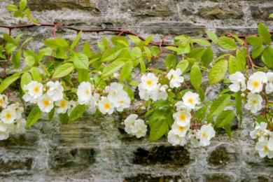 Троянда «Боббі Джеймс» прикріплена до стіни за допомогою дротів.